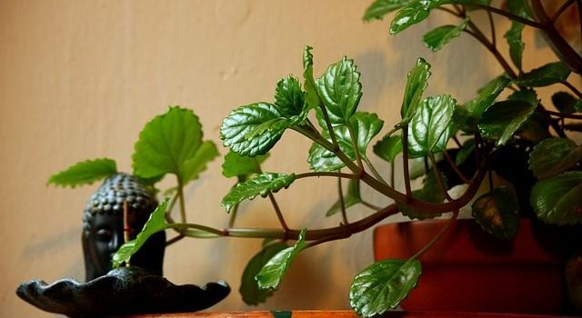 Предизвикват ли домашните растения алергии