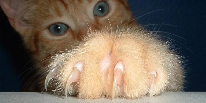 Как да отучим котката да си чеше ноктите по мебелите