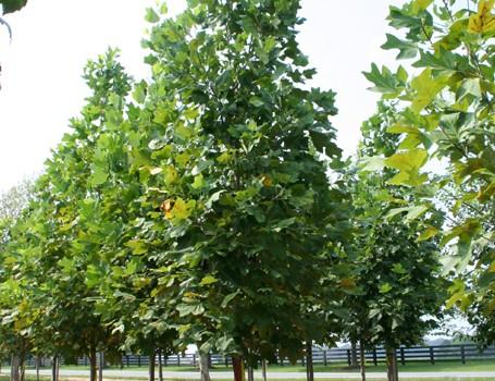 Бързорастящи дървета в двора