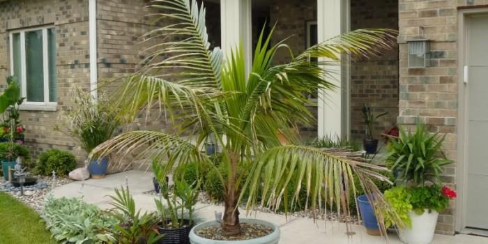 Как да извадим кокосовата палма от саксията и да я засадим в земята