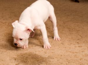 Как да почистим килима от кучешка урина