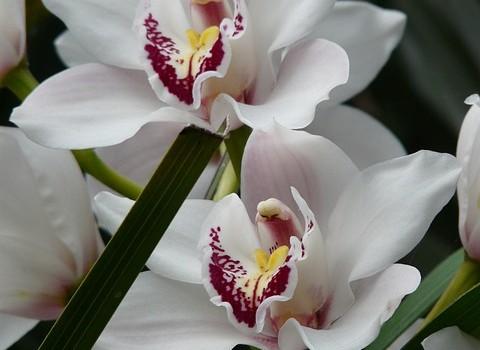 Колко често да поливаме орхидеите