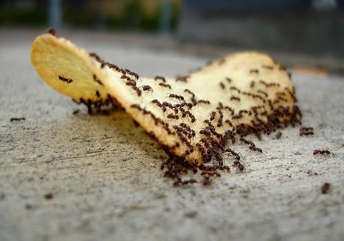 Как да се отървем от мравките с изцяло натурални средства