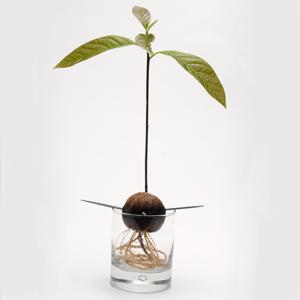 Как да засадим авокадо