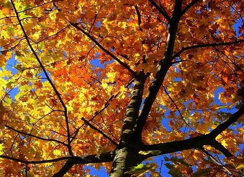 Как да си засадим кленово дърво, по-известно като явор