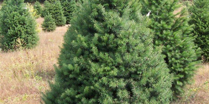 Как да засадим и отгледаме иглолистно дърво?