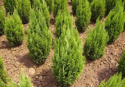 Как да озеленим пространството около иглолистно дърво?