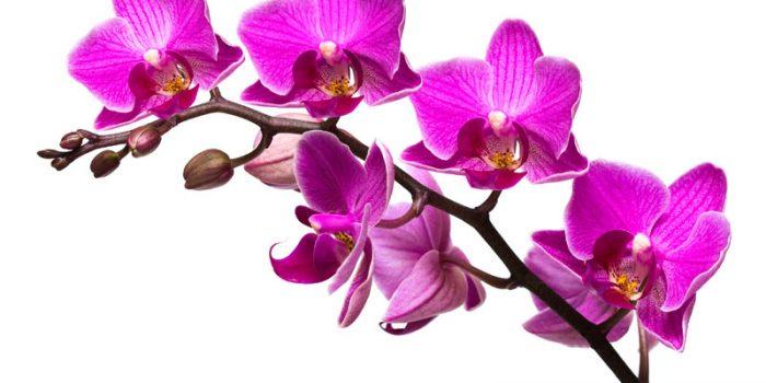 Орхидеи – как успешно да ги отглеждаме