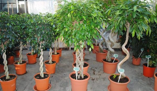 Топ 3 най-големи стайни растения