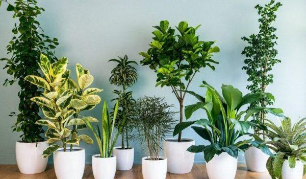 Защо съхнат краищата на листата на стайните растения