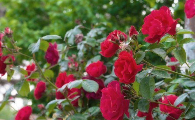 Отглеждане на рози – 7 грешки, които допускаме