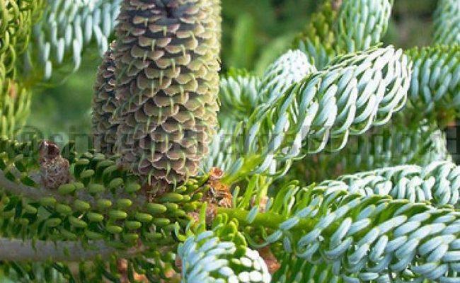 Капризни ли са иглолистните растения